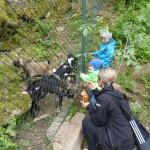 Hlídání dětí v přírodě. Kozy, kůzlátka.